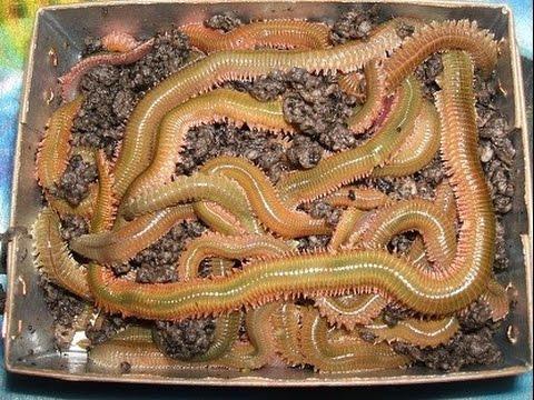 Cebo gusano Coreano