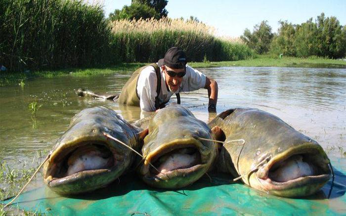 Pesca del siluro