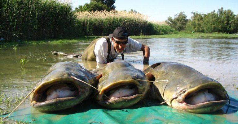 Pesca siluros